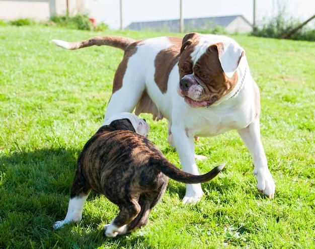 Filhote de cachorro bulldog americano engraçado com a mãe cadela adulta