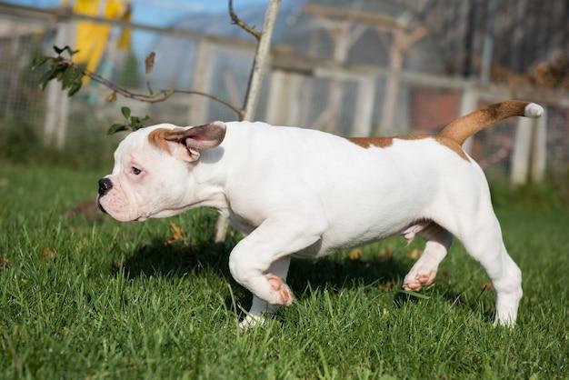 Filhote de cachorro bulldog americano vermelho engraçado em movimento na natureza.