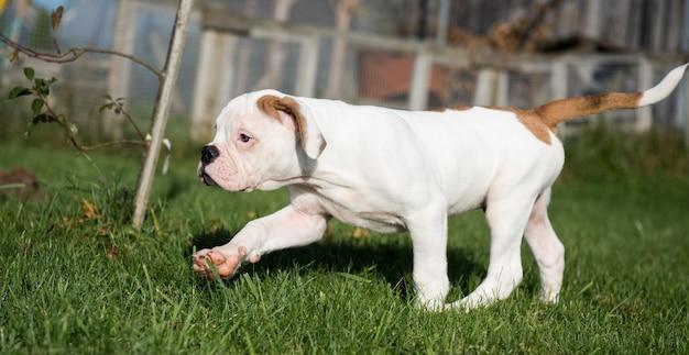 Filhote de cachorro bulldog americano vermelho engraçado está correndo