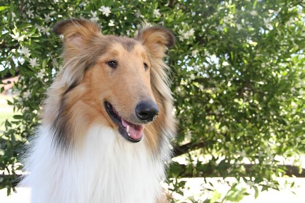 Filhote de cachorro cachorro collie puro-sangue