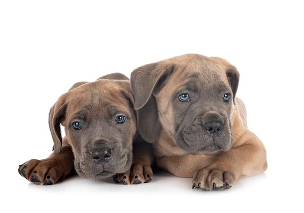 Filhote de cachorro cane corso em branco