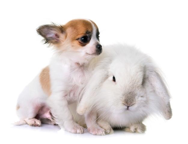 Filhote de cachorro chihuahua e coelho
