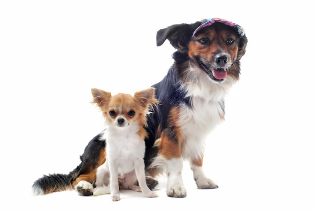 Filhote de cachorro chihuahua e corgi