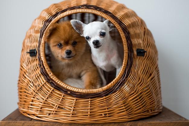 Filhote de cachorro chihuahua e filhote de cachorro pomeranian compartilhando uma casa de cachorro