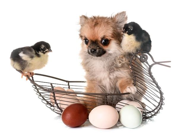 Filhote de cachorro chihuahua e filhotes