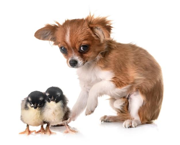 Filhote de cachorro chihuahua e pintinho
