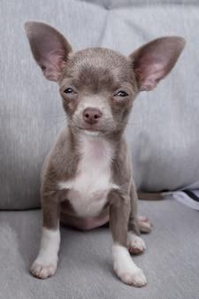 Filhote de cachorro chihuahua quer dormir. cor de chocolate filhote senta-se no sofá.