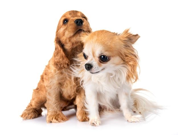Filhote de cachorro cocker spaniel e chihuahua