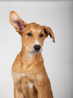 Filhote de cachorro com uma orelha para cima