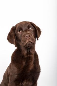 Filhote de cachorro cor de chocolate com três meses de idade de labrador com laço do sequin no fundo branco. imagem vertical.