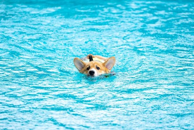 Filhote de cachorro corgi brincando na piscina