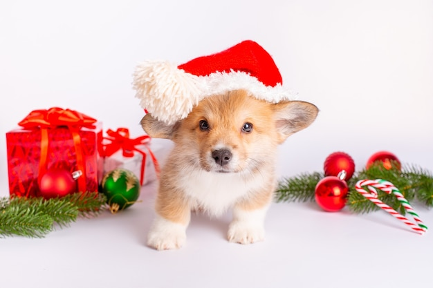 Filhote de cachorro corgi com chapéu de papai noel em fundo branco com presentes
