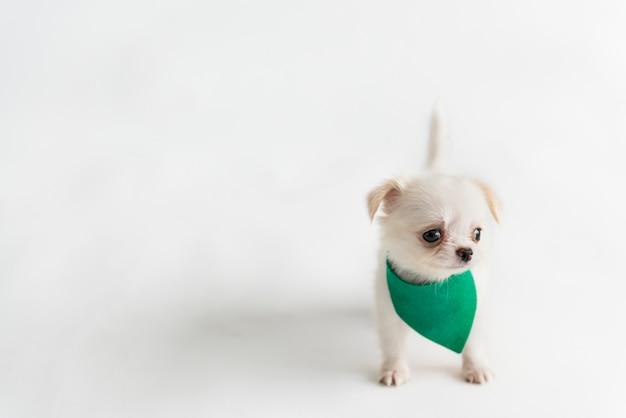 Filhote de cachorro cute chihuahua