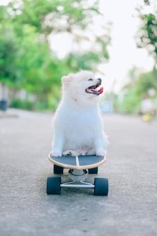 Filhote de cachorro da pomerânia, patinação de cachorro no skate