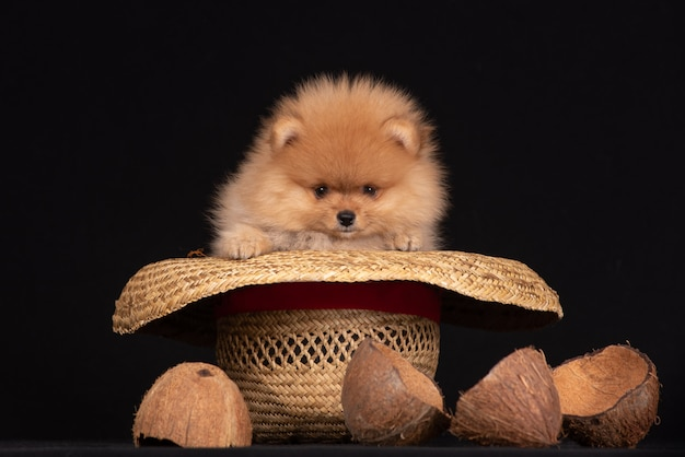 Filhote de cachorro da raça um pomeranian senta-se em um chapéu de cowboy