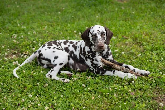 Filhote de cachorro dálmata deitado no prado e mastigando uma vara de galho