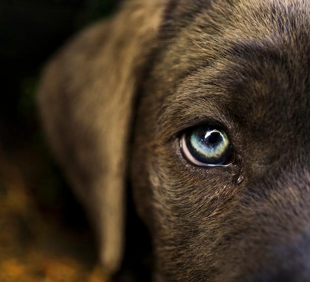 Filhote de cachorro de cane corso em um fundo branco.