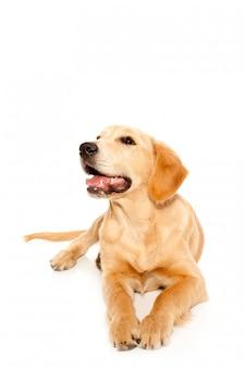Filhote de cachorro de raça pura golden retriever
