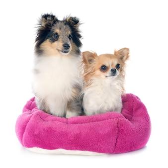 Filhote de cachorro de shetland e chihuahua