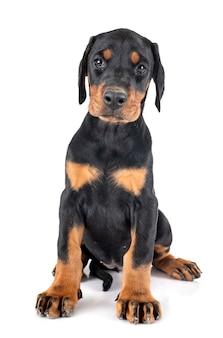 Filhote de cachorro doberman pinscher