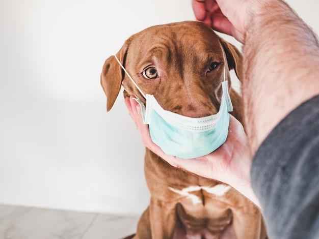 Filhote de cachorro doce de cor chocolate e seu dono