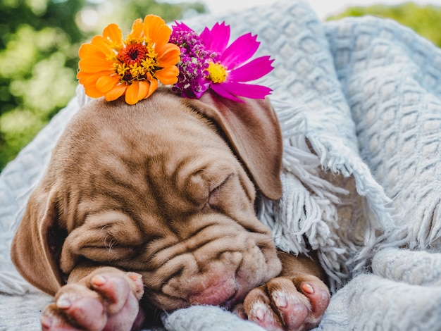 Filhote de cachorro doce dormindo em uma manta macia