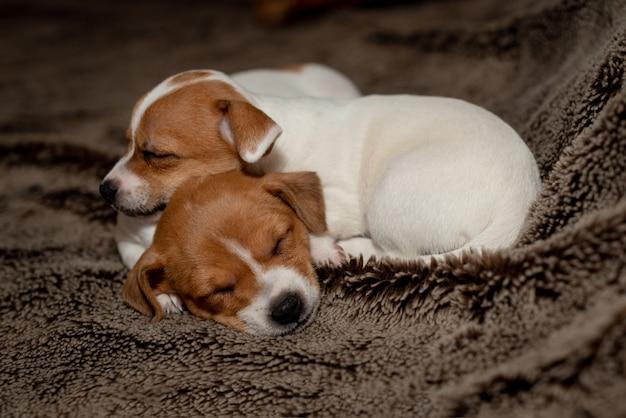 Filhote de cachorro dois jack russell que dorme em cobertores marrons.