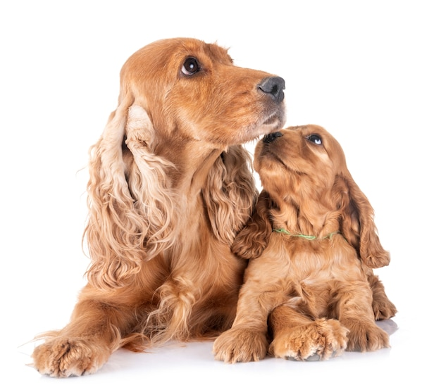Filhote de cachorro e mãe cocker spaniel
