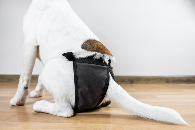 Filhote de cachorro em fralda lavável senta-se no chão, close-up vista. parte traseira de um cão fox terrier liso na fralda lavável, sentado em uma sala.