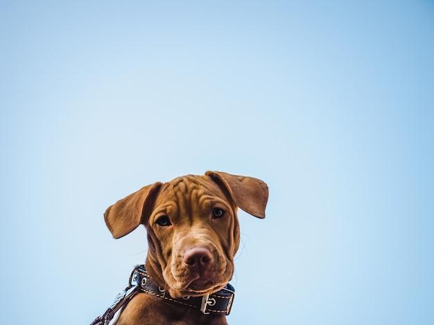 Filhote de cachorro encantador da cor chocolate. close-up, ao ar livre