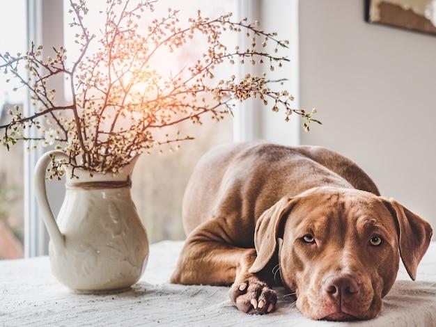 Filhote de cachorro encantador de cor marrom. close up, interior. luz do dia. conceito de cuidado, educação, treinamento de obediência, criação de animais de estimação