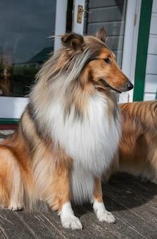 Filhote de cachorro fêmea de pêlo áspero preto e raça pura de zibelina pedigree lassie collie sentada na vertical