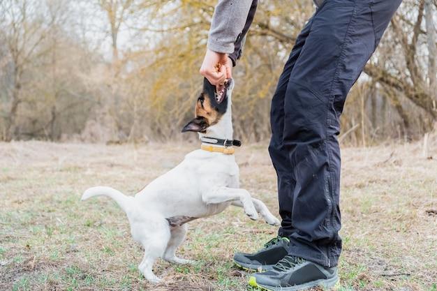 Filhote de cachorro fox terrier suave brinca com seu dono em um parque. cão jovem e uma pessoa passam tempo juntos ao ar livre