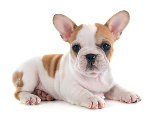 Filhote de cachorro francês bulldog