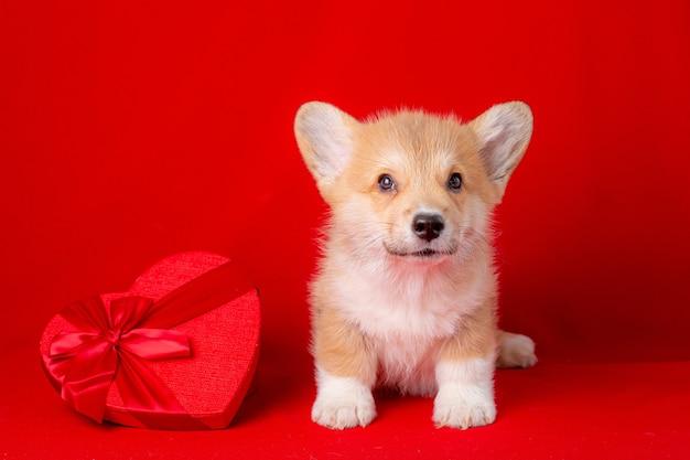 Filhote de cachorro galês corgi perto da caixa vermelha em forma de coração