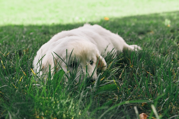 Filhote de cachorro golden retriever filhote baseia-se na natureza