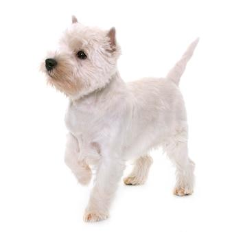 Filhote de cachorro highland west terrier branco