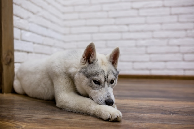 Filhote de cachorro husky siberiano em casa deitado no chão. estilo de vida com cachorro