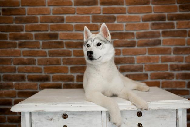 Filhote de cachorro husky siberiano sentado sobre os móveis. estilo de vida com cachorro