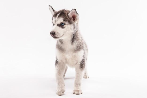 Filhote de cachorro husky