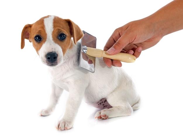 Filhote de cachorro jack russel terrier