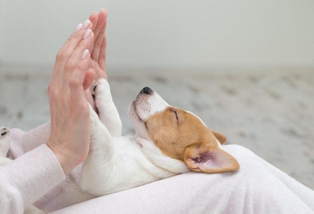 Filhote de cachorro jack russell cachorro dormindo terier as mãos