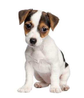 Filhote de cachorro jack russell com 8 semanas.