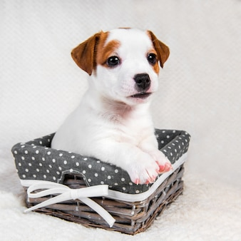 Filhote de cachorro jack russell terrier na cesta.