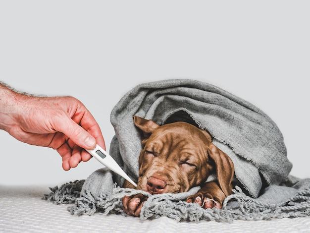 Filhote de cachorro jovem, embrulhado em um lenço cinza