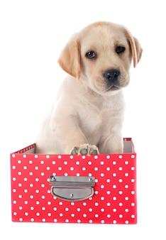 Filhote de cachorro labrador retriever em caixa