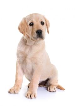 Filhote de cachorro labrador retriever
