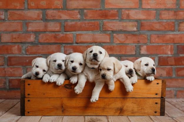 Filhote de cachorro labrador sentado em uma caixa de madeira no fundo da parede de tijolos.