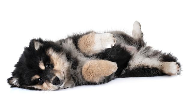 Filhote de cachorro lapphund finlandês