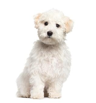 Filhote de cachorro maltês sentado, isolado no branco